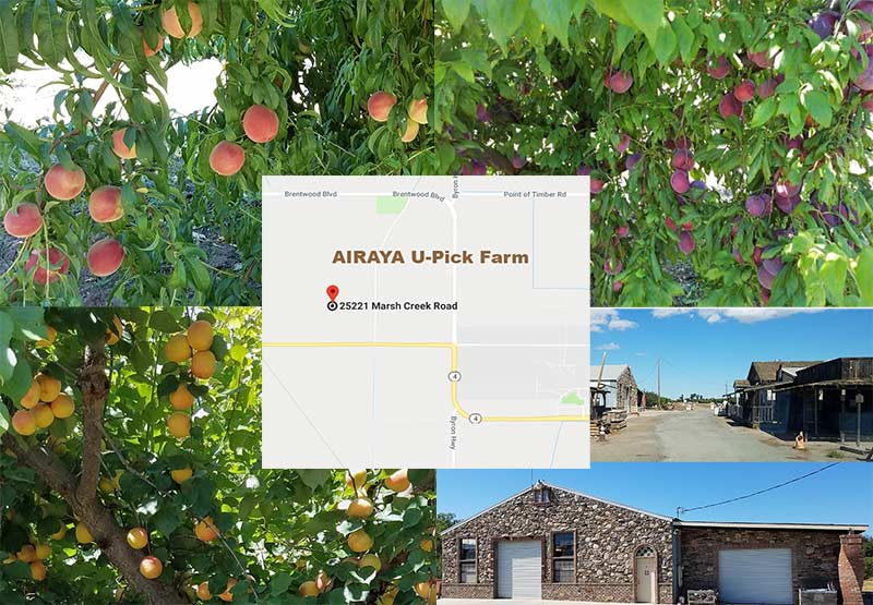 AIRAYA U-Pick Farm - Delicious Peaches, Apricots, Pluots and More in Brentwood, CA